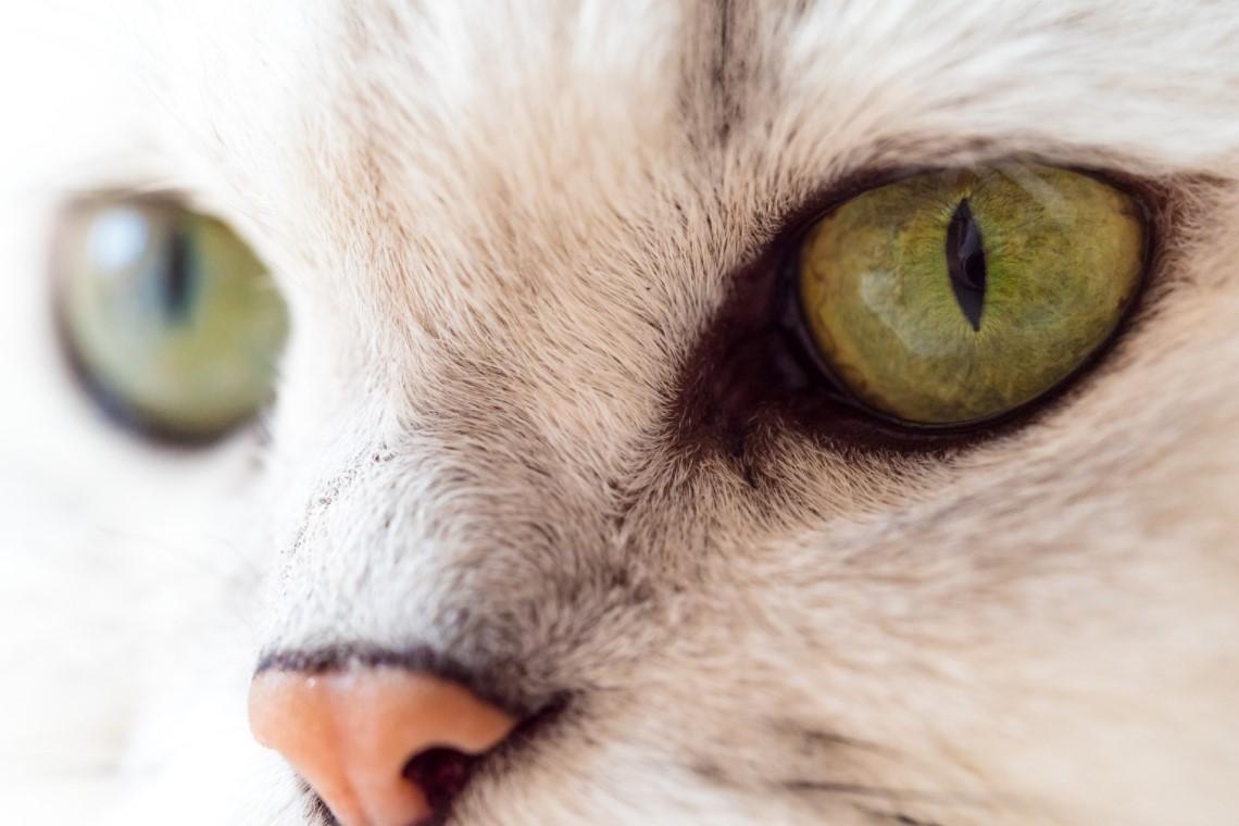 Kedi göz iltihabı akıntısı