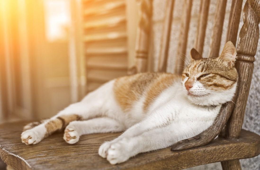 Kedi Güneş Çarpması