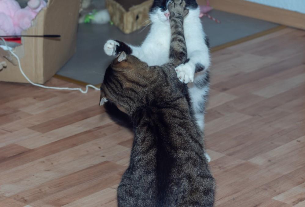 kedi kavgası