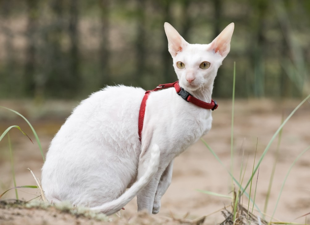 cornish rex kedisi